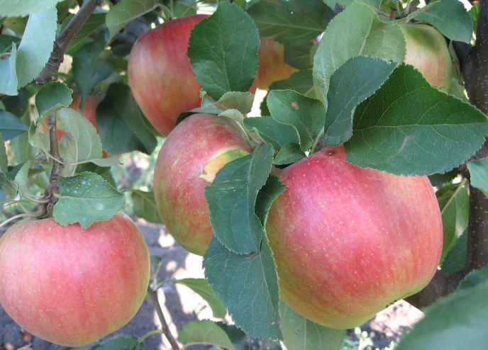 Первый урожай с яблони «Чемпион» можно собрать на третий год после высадки саженцев